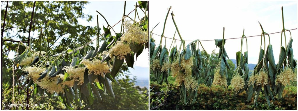 Essiccare i fiori di sambuco