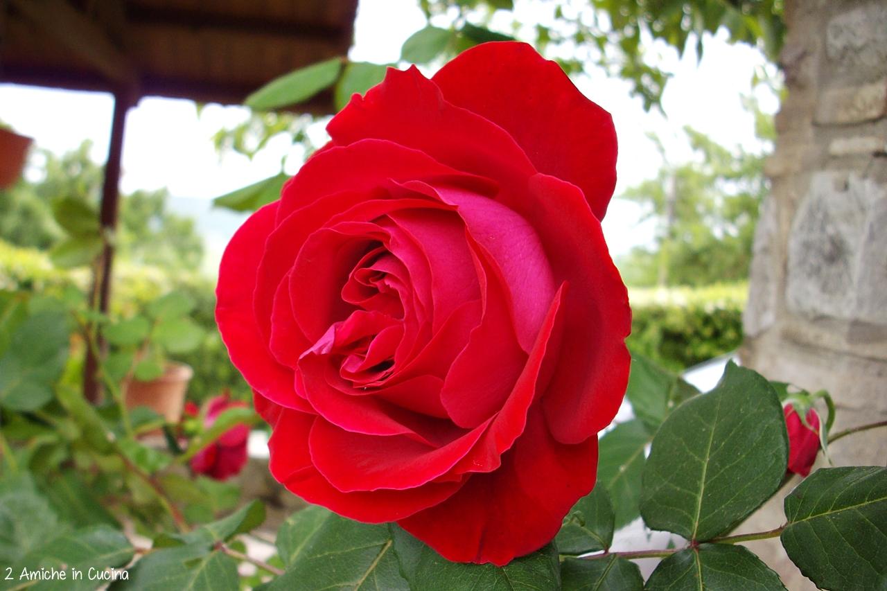 ricette con le rose- rosa rossa