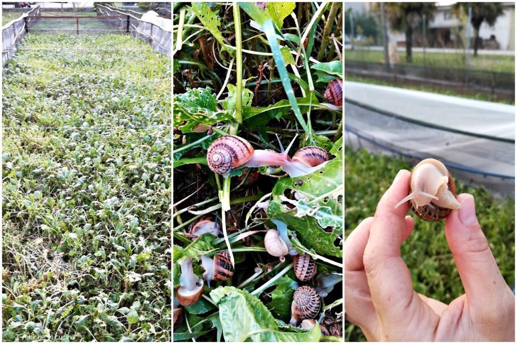 allevamento di lumache in Umbria