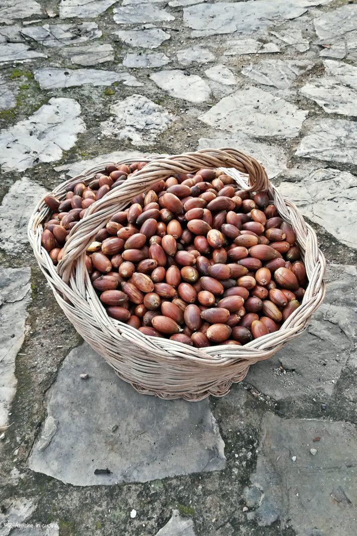 Cesto di ghiande raccolte in autunno per fare la farina